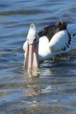 Pelicano de alimentação Imagens de Stock Royalty Free