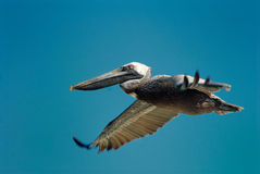 Pelicano de Brown imagem de stock royalty free