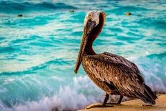 Pelicano de Brown Imagem de Stock