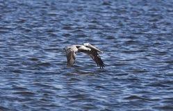 Pelicano de Brown Imagens de Stock