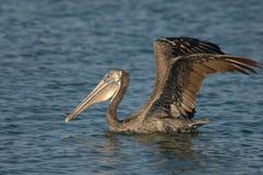 Pelicano de Brown - adulto de alimentação do pintainho Foto de Stock Royalty Free