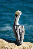 Pelicano de Brown em um penhasco (Pelecanus Occidentalis) Imagem de Stock