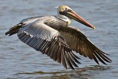 Pelicano de Brown em voo Foto de Stock Royalty Free