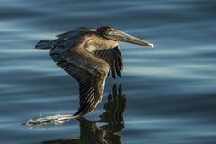 Pelicano de Brown em voo sobre a água 3 Fotografia de Stock Royalty Free