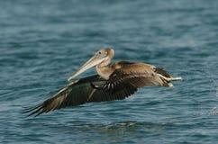 Pelicano de Brown - imaturo Imagem de Stock Royalty Free