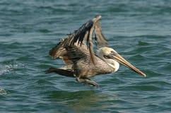 Pelicano de Brown - não adulto da criação de animais Imagem de Stock Royalty Free