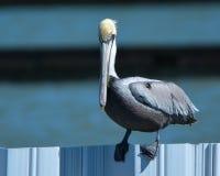 Pelicano de Brown na cerca Imagem de Stock