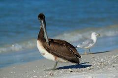 Pelicano de Brown na praia de Lido foto de stock