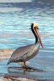 Pelicano de Brown na praia de Ventura ao lado do pantanal de Santa Clara River no Gold Coast de Califórnia nos EUA imagem de stock