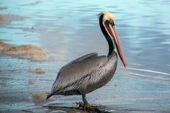 Pelicano de Brown na praia de Ventura ao lado do pantanal de Santa Clara River no Gold Coast de Califórnia nos EUA imagem de stock royalty free
