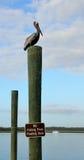 Pelicano de Brown no borne de madeira imagem de stock royalty free