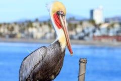 Pelicano de Brown no perto do oceano Fotografia de Stock Royalty Free
