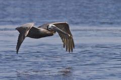 Pelicano de Brown no vôo fotografia de stock royalty free