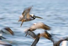 Pelicano de Brown no vôo sobre a praia de Florida Imagens de Stock Royalty Free