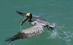 Pelicano de Brown (occidentalis de Pelicanus) Foto de Stock Royalty Free
