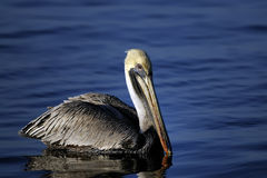 Pelicano de Brown, occidentalis do pelecanus Imagem de Stock Royalty Free