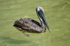 Pelicano de Brown (occidentalis do pelecanus) Foto de Stock Royalty Free