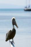 Pelicano de Brown (occidentalis do pelecanus) Fotografia de Stock Royalty Free