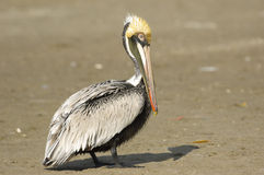 Pelicano de Brown, (occidentalis do Pelecanus) foto de stock royalty free