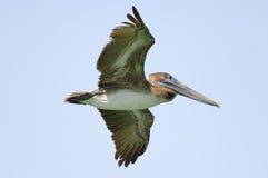 Pelicano de Brown (occidentalis do pelecanus) Imagens de Stock Royalty Free