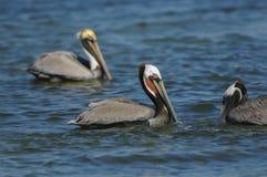 Pelicano de Brown, (occidentalis do Pelecanus) fotografia de stock royalty free