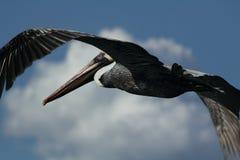Pelicano de Brown - Pelecanus Occidentalis Fotografia de Stock Royalty Free