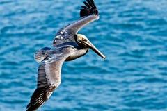 Pelicano de Brown - Pelecanus Occidentalis Imagem de Stock Royalty Free