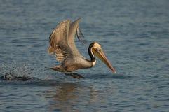 Pelicano de Brown - produzindo o adulto Fotografia de Stock Royalty Free