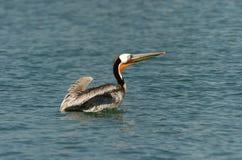 Pelicano de Brown - produzindo o adulto Fotos de Stock
