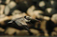 Pelicano de Brown - produzindo o adulto Foto de Stock