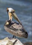 Pelicano de Brown que enfeita-se suas penas em uma rocha que negligencia o Pa Foto de Stock Royalty Free