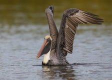 Pelicano de Brown que toma o voo de uma lagoa - Forte De Soto Parque, F Imagem de Stock Royalty Free