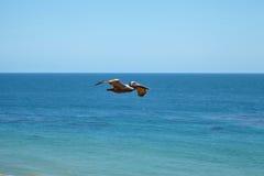 Pelicano de Brown que voa sobre o oceano Fotografia de Stock