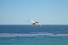 Pelicano de Brown que voa sobre o oceano Imagem de Stock Royalty Free