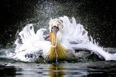 Pelicano de Dalamtian Imagens de Stock Royalty Free
