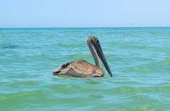 Pelicano de descanso Imagens de Stock
