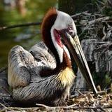 Pelicano de descanso de Brown Fotografia de Stock