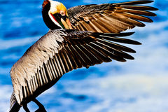 Pelicano de Dracula da contagem Foto de Stock