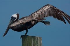 Pelicano de equilíbrio Imagem de Stock Royalty Free