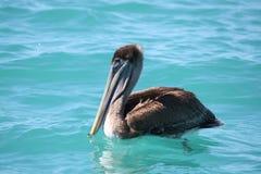 Pelicano de Florida Imagens de Stock Royalty Free