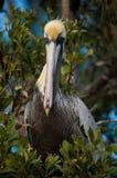 Pelicano de Florida Brown Fotos de Stock
