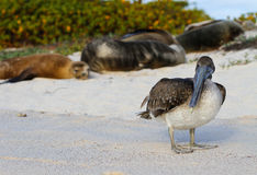 Pelicano de Galápagos Foto de Stock