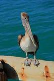 Pelicano de Key West Fotos de Stock