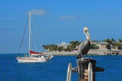 Pelicano de Key West Foto de Stock Royalty Free