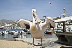 Pelicano de Mykonos Imagem de Stock