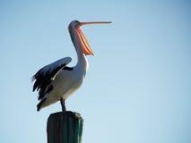 Pelicano de riso Imagem de Stock