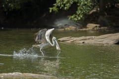 Pelicano de Spotbilled Foto de Stock