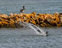 Pelicano Dive Bombing foto de stock