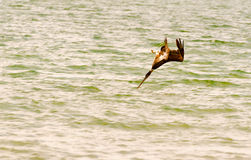 Pelicano do mergulho Imagens de Stock