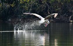 Pelicano do ponto imagens de stock royalty free